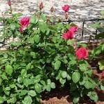 rosas st. mayo 2010.JPG